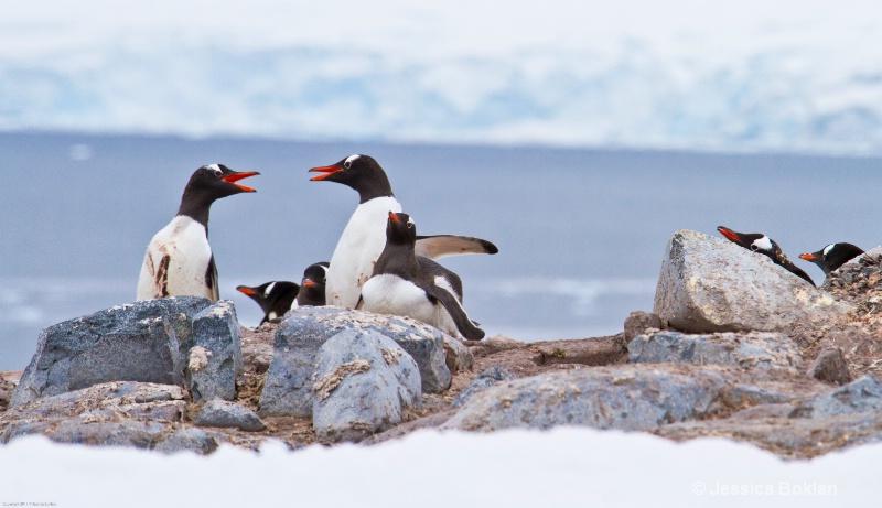 Gentoo Penguins Arguing