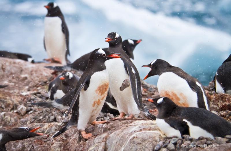 Gentoo Penguin Dropping Stolen Pebble
