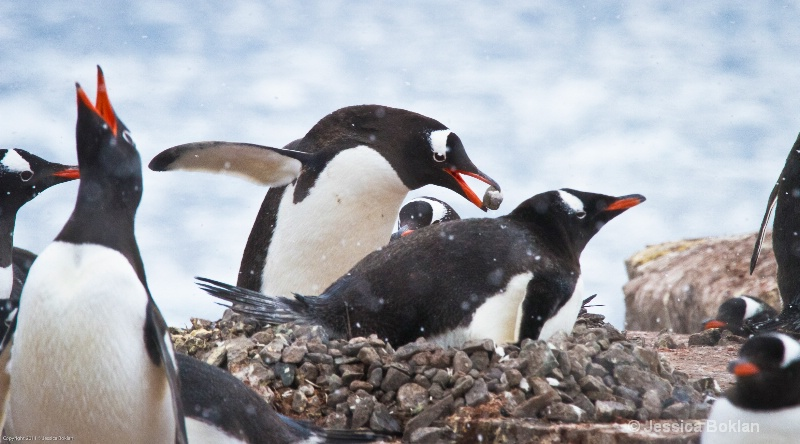 Gentoo Penguin Adding Pebble to Nest
