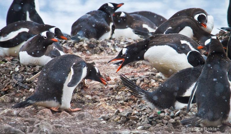 Gentoo Penguin Stealing Pebble