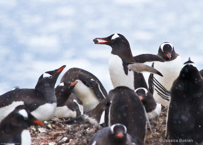 Gentoo Penguin with Stolen Pebble