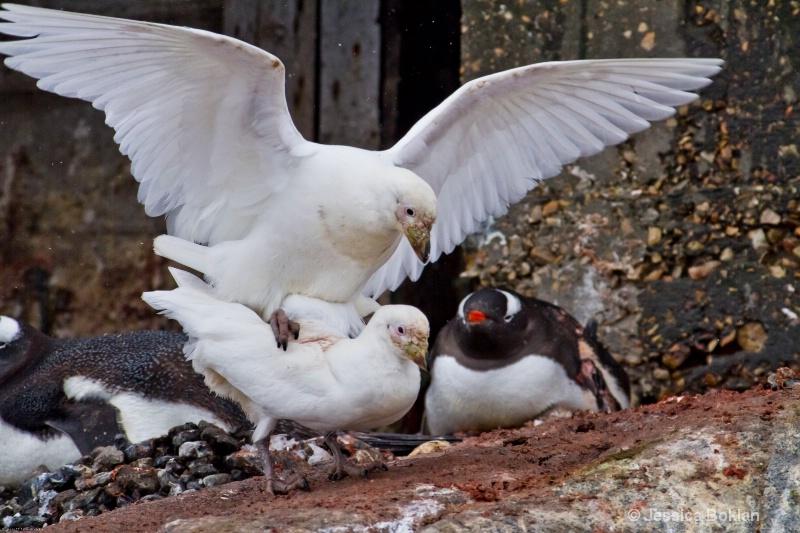 Snowy Sheathbills Mating