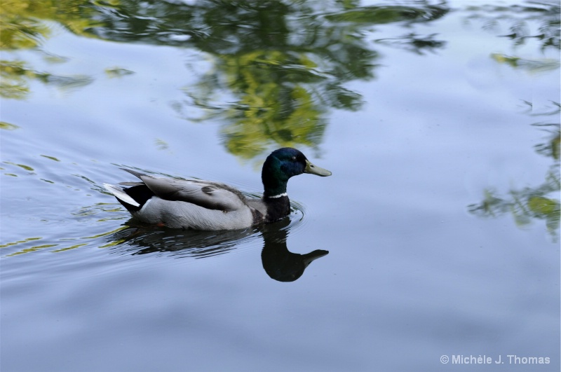 A Duck With Reflections !
