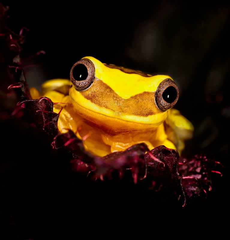 Yellow tree frog watching from magenta foliage