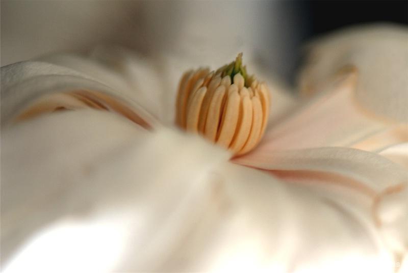 Magnificent Magnolia !