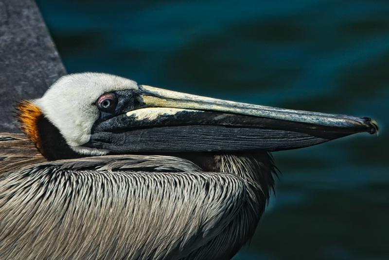 Resting pelican - Florida