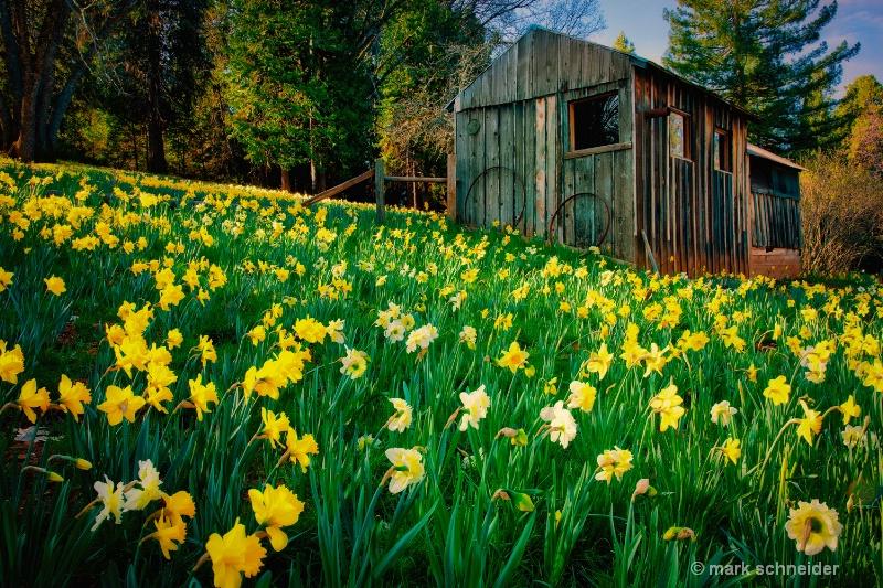 Daffodil hill # 2