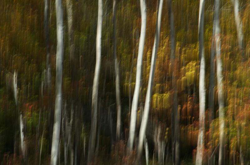 blurred birches