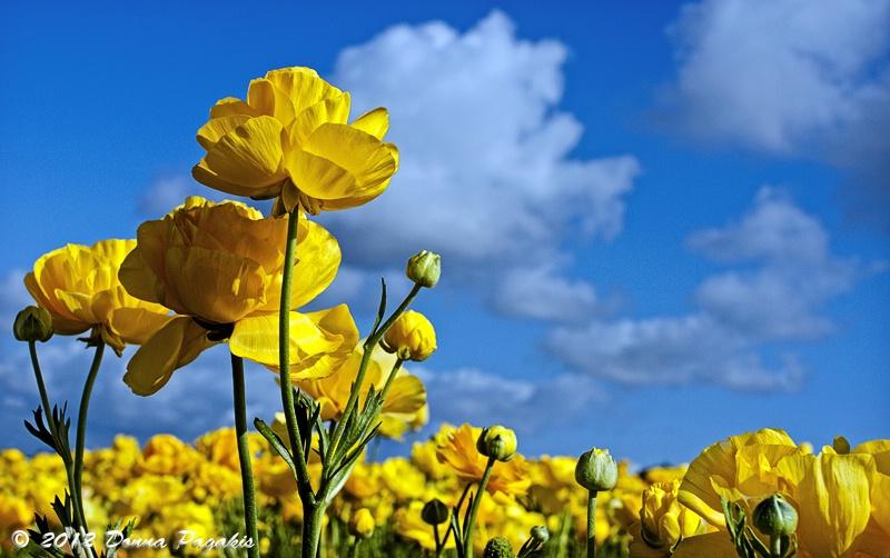 Rows of Yellow Ranunculus