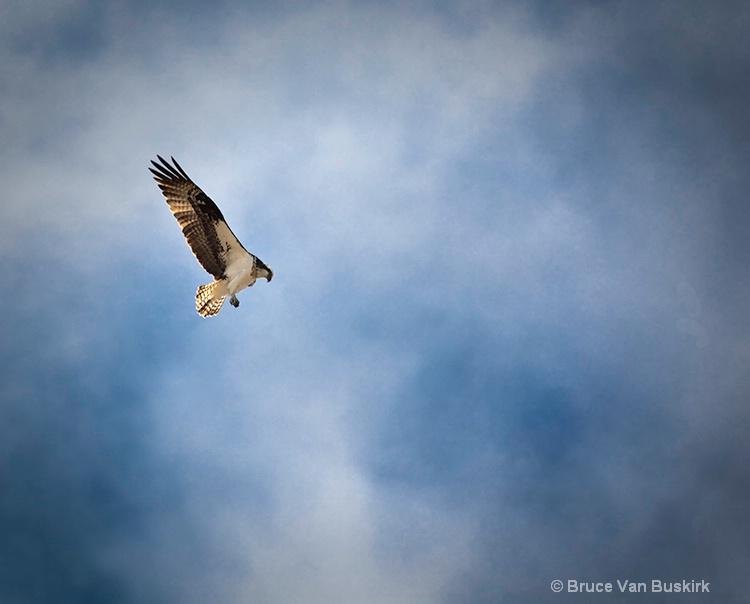 Osprey Kiting