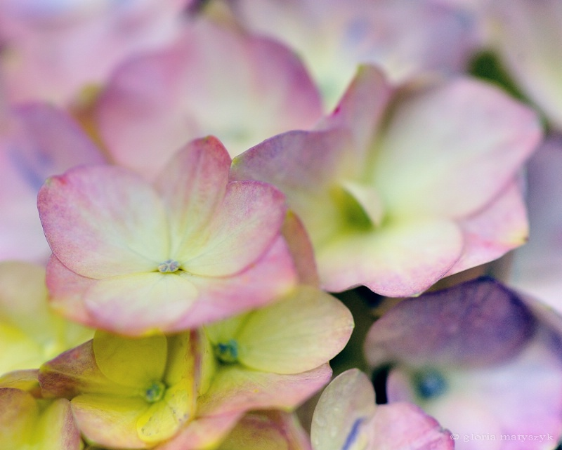 Multi-color hydrangea; Longwood Gardens, PA