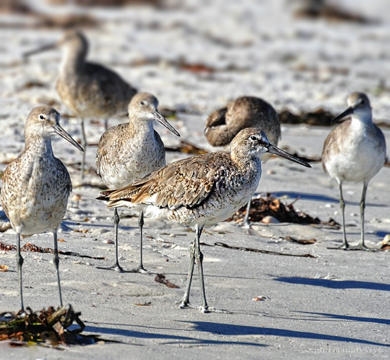 Willett flock, Treasure Island, FL