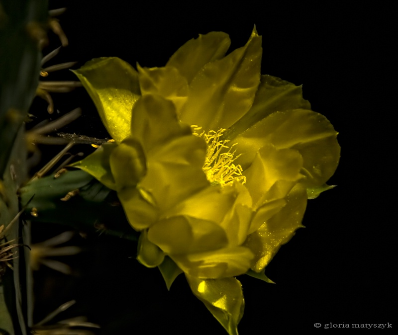 Sunlight on a cactus flower, California