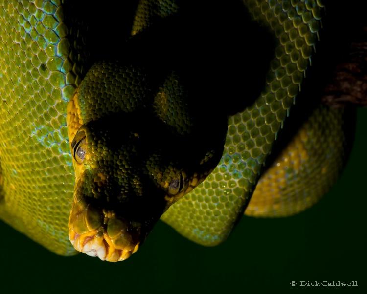 Green ball python
