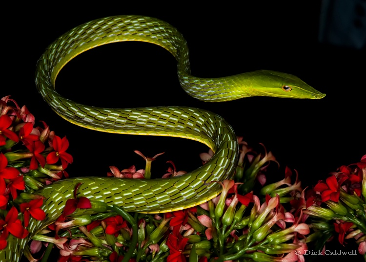 Asian green vine snake