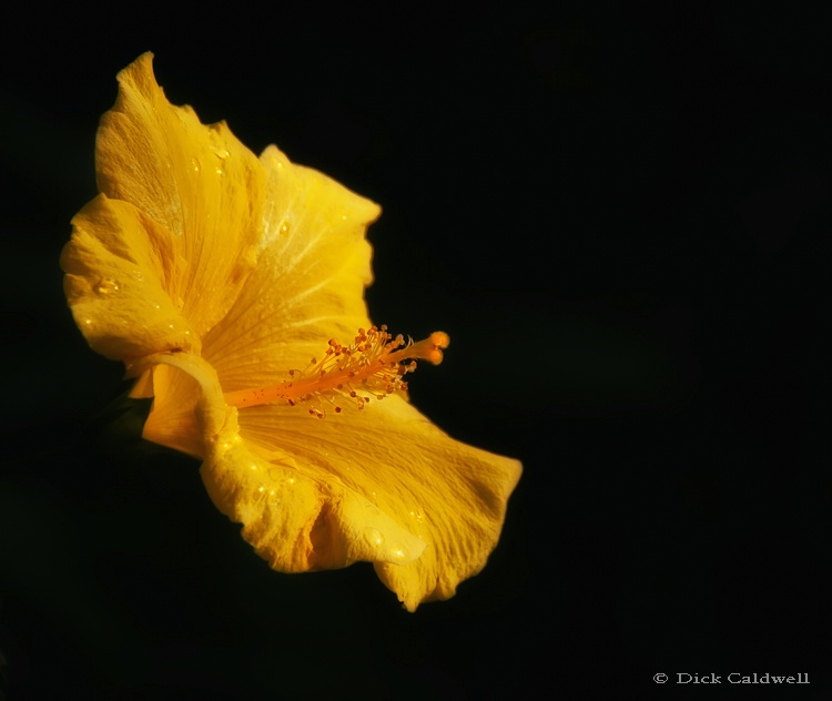 Yellow Hibiscus single flower