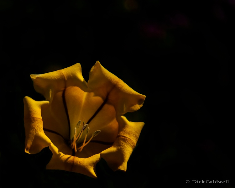 Yellow single flower,Sunken Gardens,St. Petersburg