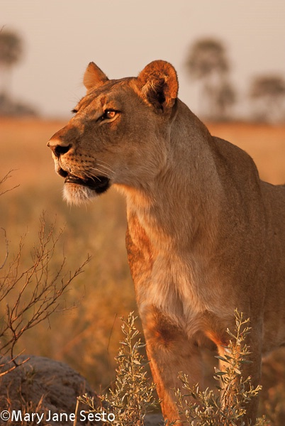 Selinda Lioness1, Botswana