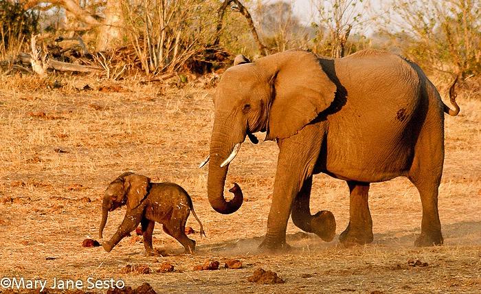 Mom & Son Elephant, Zimbabwe