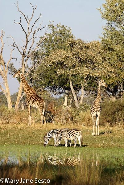 Giraffe & Zebra, Botswana