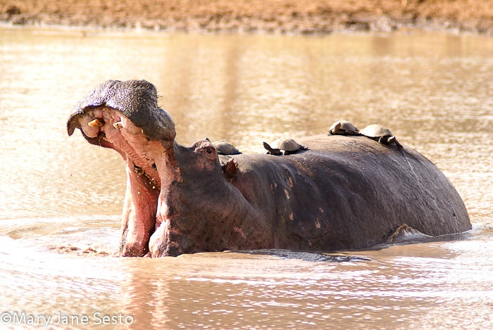 Hippo & Turtles, South Africa
