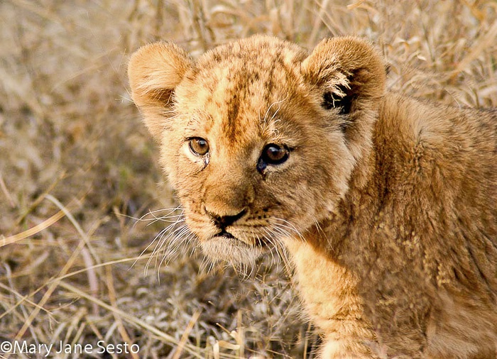 Young Lion7, Botswana