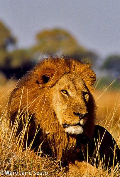 Selinda Lion, Botswana
