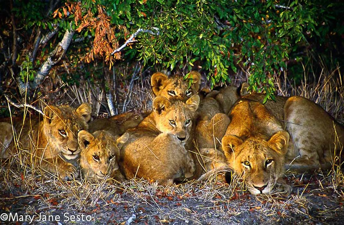 Lion Cubs1, South Africa