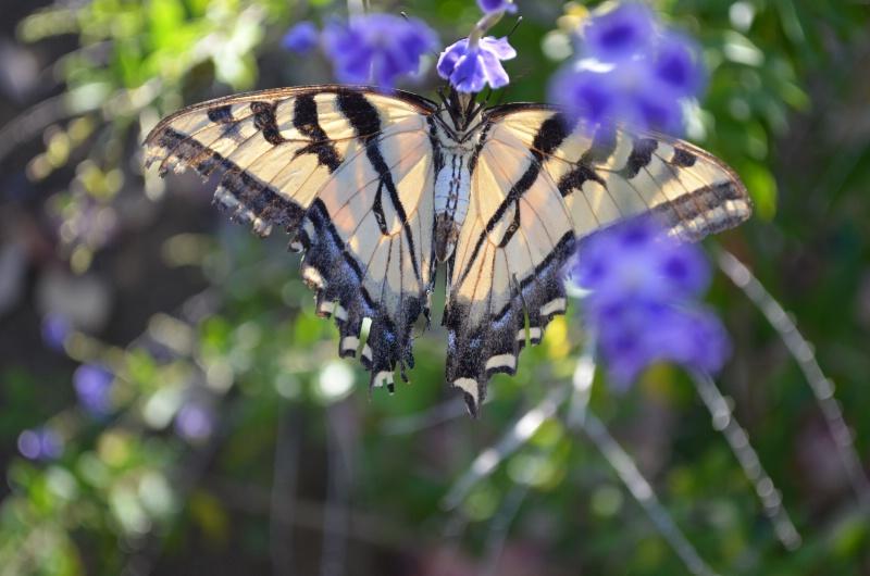 Flutter-by butterfly