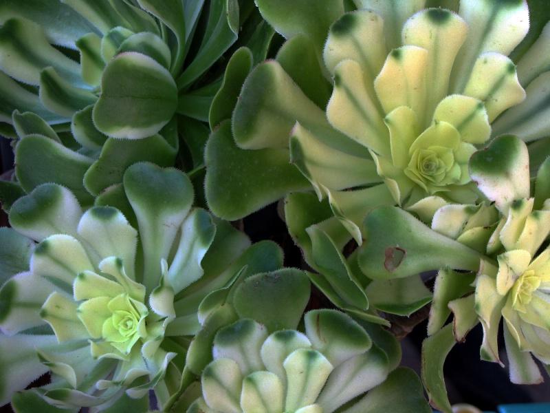 Soft Succulent