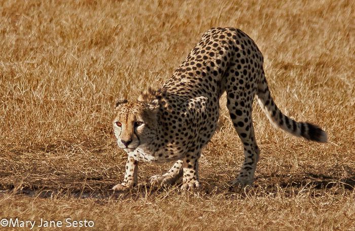 M. Cheetah4, Botswana