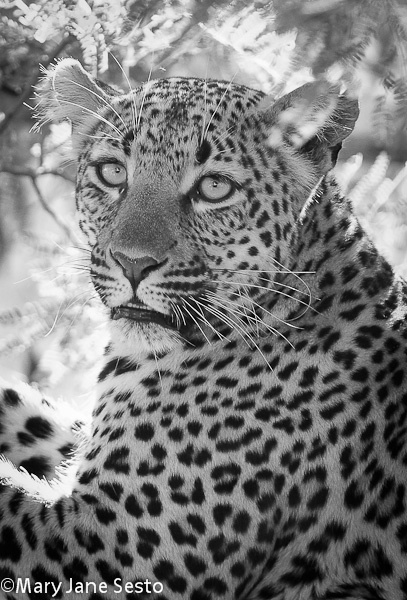B&W F. Leopard, South Africa