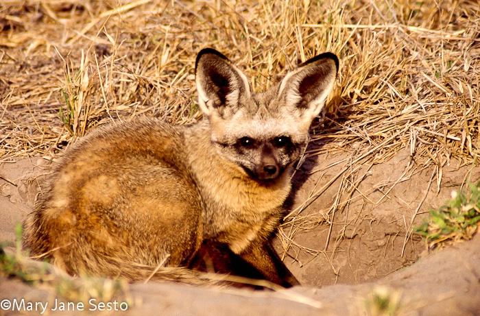Bat-Eared Fox, Botswana