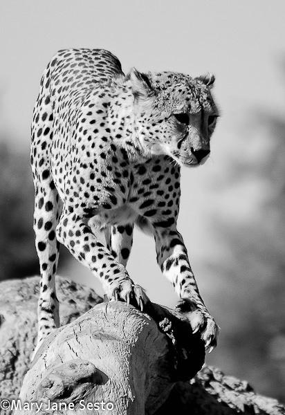 B&W Cheetah, Botswana