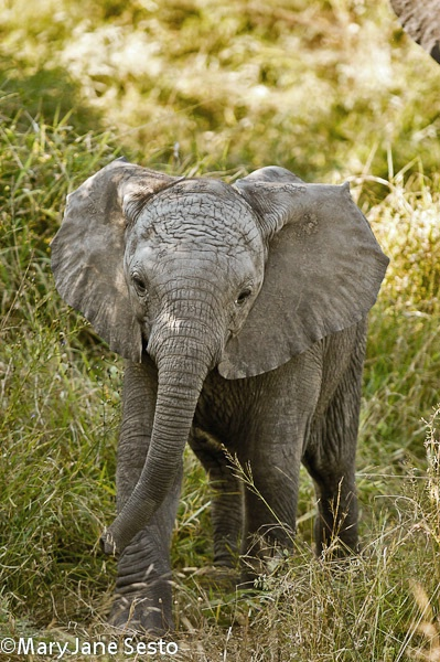 Young Elephant, South Africa