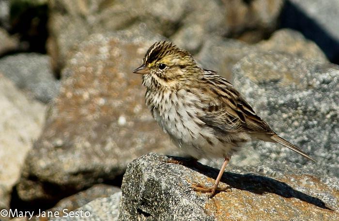 Belding's Sparrow, Bolsa Chica, California