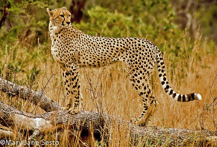 F. Cheetah1, South Africa