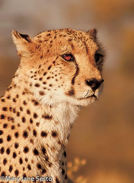 M. Cheetah Brother, Botswana