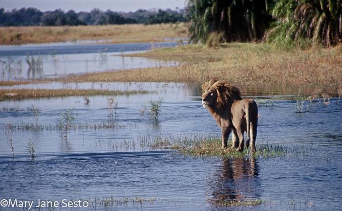 Delta Lion, Botswana