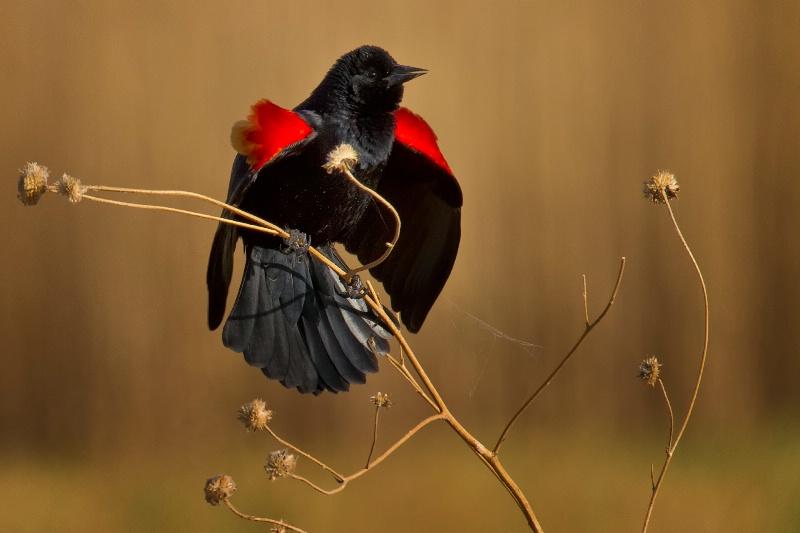 Red Wing Splendor