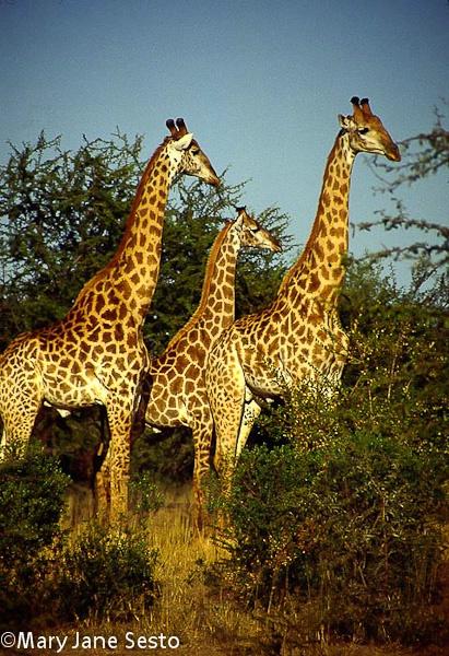 3 Giraffe, South Africa