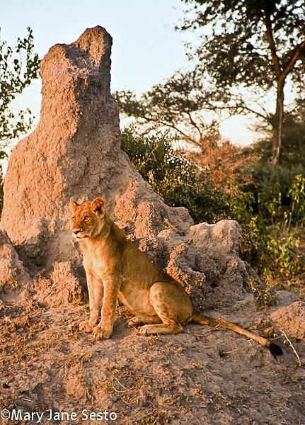 Lion Termite Mound, Botswana