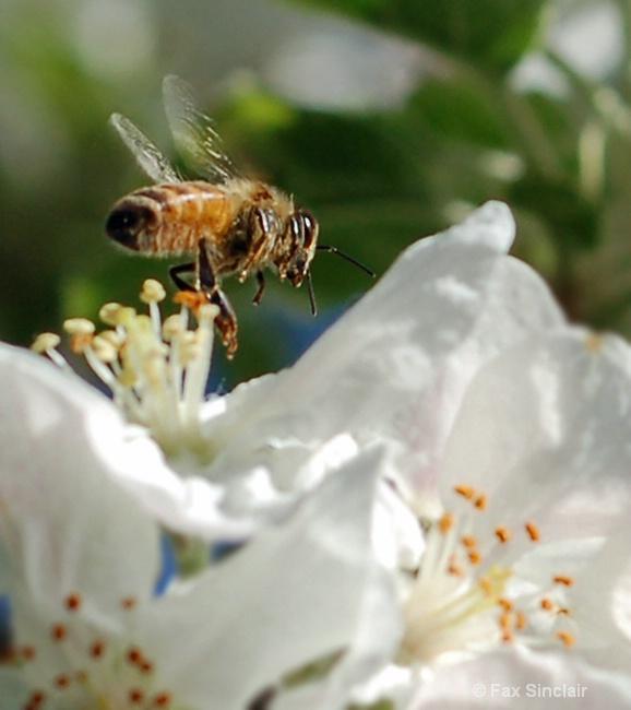 Apple Bee 3