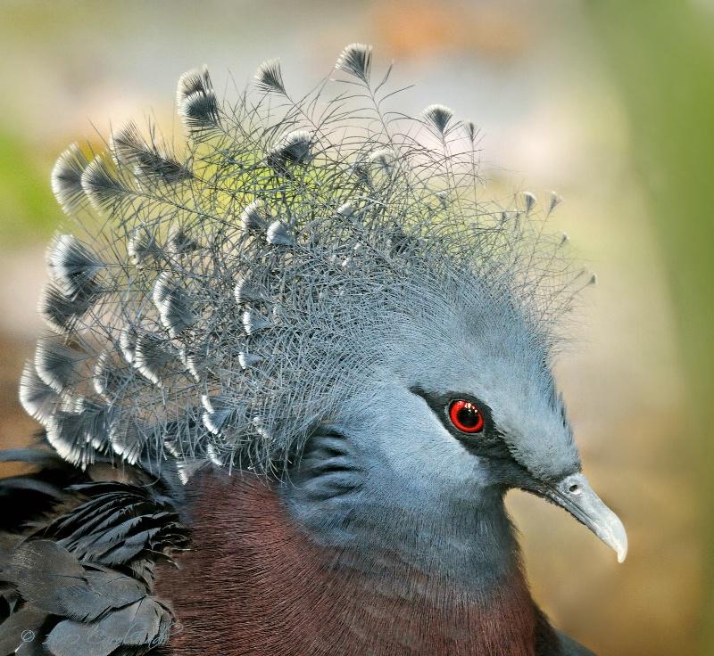 Crowned Victorian Pigeon