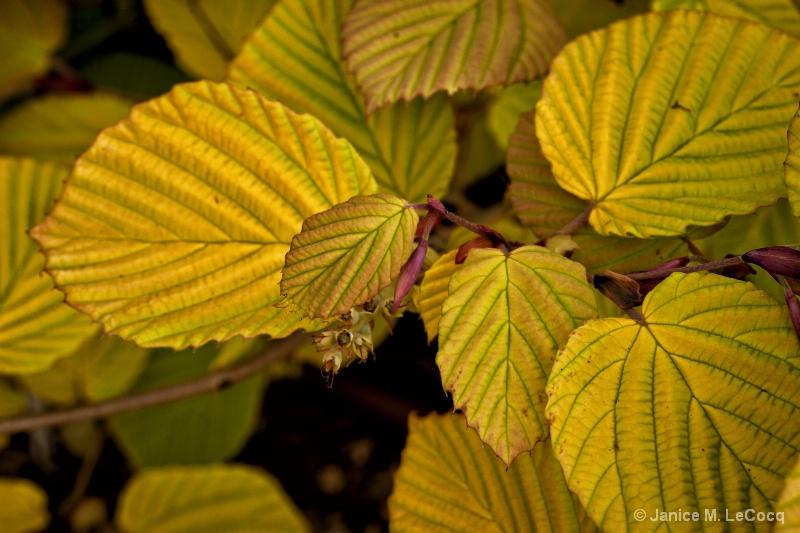 4. Corylopsis spicata 'Aurea'