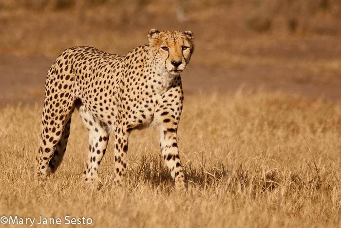 Cheetah Brother5, Botswana