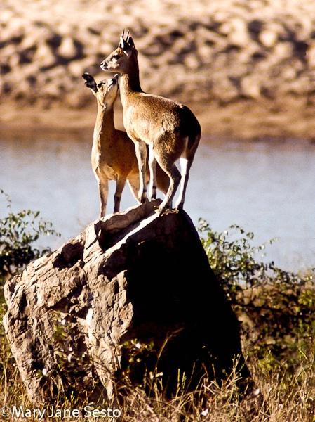 Klipspringers, South Africa