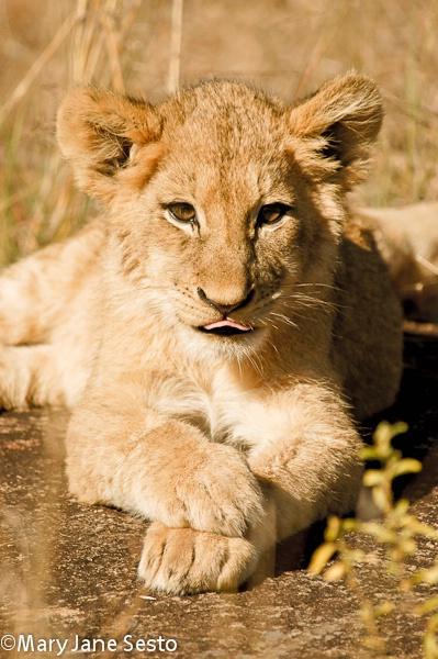 Lion Cub Tongue, South Africa