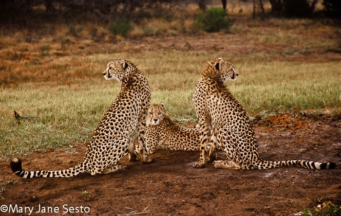 Bookends-Cheetah, South Africa
