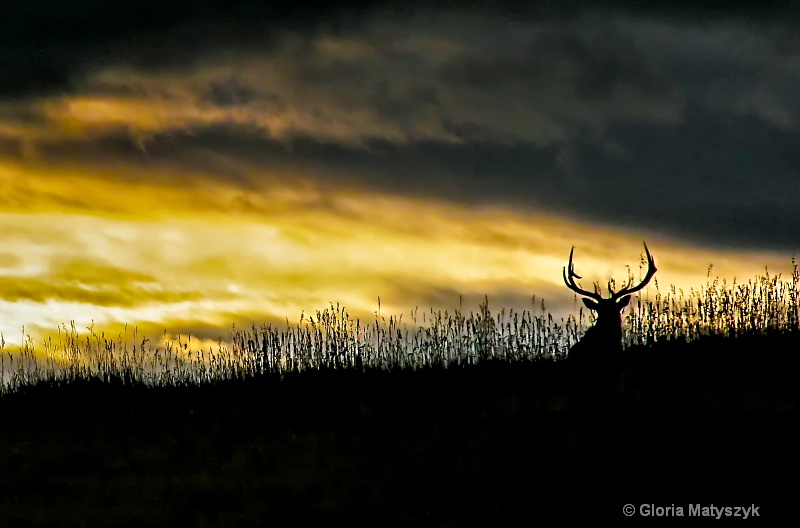 Elk at sunset, Yellowstone National Park